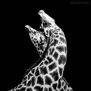 Giraffa in bianco e nero