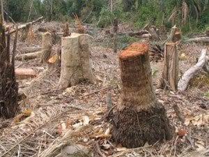 Deforestazione illegale in Camerun, coinvolte le imprese italiane